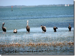 Pelicans learn about search engines at Search Insider Summit - Captiva FL